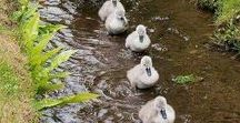 Cute Swan Bird Family