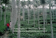 Taiwan Tea Plantations / The mountains of Taiwan have a superb micro-climate for growing tea. Straddling the Tropic of Cancer, the high mountains have a year-round cool, moist climate - ideal conditions for tea.