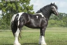Gypsy Vanner Fillies & Colts / The sweet babies of Gypsy MVP