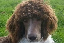 Bounce the standard poodle / My poodle Bounce