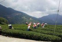 Spring Tea Harvest in Taiwan's Lishan tea district