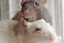Pet Rat / I love rats they are cute, playfull, loyal and loving animals.
