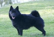 My love for Schipperke's