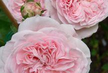 roses | / Rosor som har skapats efter 1867 kallas i allmänhet för Moderna rosor. Här buskrosor och rababattrosor – ex. tehybrider, floribunda, kordesii