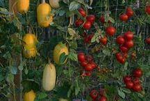 Horticultura / canteiros, plantações de ervas medicinais, abóbora, melancia, e outros
