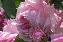 Art & Jardin Roses / Roses & Pivoines