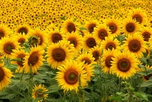 Sunflowers / by Heather Stone