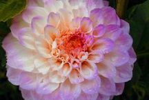 Dahlias / A collection of dahlias that I want to plant