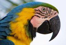 Ara / Il genere ara comprende alcuni tra i più grandi, dimensionati e maestosi pappagalli esistenti in natura, le cui taglie sono comprese tra i 30 centimetri dell'ara nobilis (anche se questa appartiene per la precisione al genere diopsittaca) ai 90 centimetri dell'ara chloroptera.