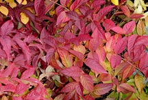 Falling for Fall Color! / Plants with great fall color and texture.