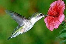 Hummingbird Gardens / Plants and techniques that attract and benefit hummingbirds