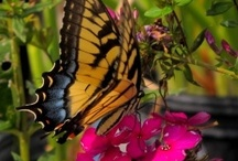 Butterfly Gardening / Food sources and host plants for butterflies and their caterpillars.