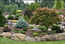 Conifers / Evergreens and Conifers that we carry and information about them.