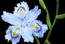 """Irises / From Tall Bearded to Japanese to wild -- find so many irises here. This board is a companion to our article """"A Kaleidoscope of Irises"""" in The American Gardener May/June 2015 magazine ahsgardening.org/gardening-resources/gardening-publications/the-american-gardener/may-june-issue"""