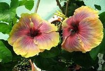 """Tropical hibiscus / Varieties of tropical hibiscus & how to care for them in the winter in cold climates. This board is a companion to our article """"Tropical HIbiscus"""" in The American Gardener magazine ahsgardening.org/gardening-resources/gardening-publications/the-american-gardener/november-december-2015-issue"""