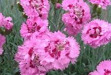 """Dianthus -- perennial pinks / Perennial pinks (Dianthus) are making a comeback. This board is a companion to our article """"Give Pinks a Chance"""" in The American Gardener magazine ahsgardening.org/gardening-resources/gardening-publications/the-american-gardener/march-april-2016-issue"""