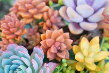 Succulents 多肉植物