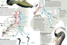 MIGRATING CRANES / The European migration of the Granes