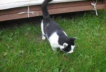 Kissa. / Tässä kuvia kissastani Oskari.