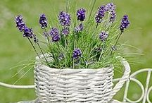 Levendula / Lavender