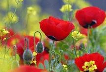 Pipacs / Poppies