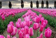Tulipán / Tulips