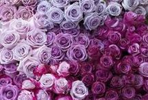 Roses / Roses are red... and sometimes pink, black, yellow, lavender white, and orange!