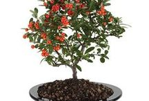 Bodacious Bonsais / Miniature masterpieces. Bonsai is the Japanese art of growing miniature, or ornamental-shaped trees or shrubs in small, shallow pots.