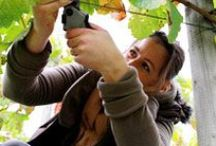 Help with the Harvest at an English Vineyard / Several vineyards look to volunteers to help with the harvest. Most will reward you with a good meal and a glass of wine as well as a huge sense of satisfaction. For a full list, see http://www.winecellardoor.co.uk/category/Help+with+the+Harvest