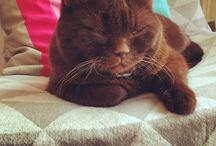 Chocolate kitty / Chocolate British Shorthair cat