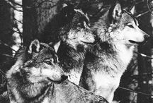 Raised By Wolves / My love of wolves. The pack, the lone wolf, the hunter, the alpha, the beauty.   / by Left Blank