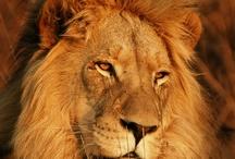 Lions & ...