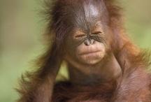 Orangutan & Gorilla