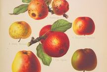 Apple Day 2013 / We have plenty of apple-related objects and archives here at MERL! Come celebrate Apple Day with us on 19th October! http://www.reading.ac.uk/merl/whatson/merl-appleday.aspx