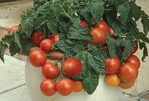 Fruit & Vegetable Gardening / Growing and Maintaining Edible Gardens - Growing Vegetables - Growing Fruits - Herb Gardening #ediblegardens #permaculture #agriculture #crops