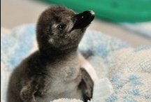 baby penguins  / Baby penguins.