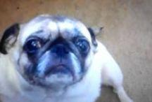 Pugsy