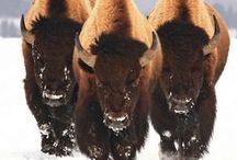 buffalo american nativo, sefton