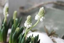 Primavera / groei & bloei