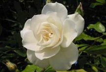 Flores blancas / bellas imágenes y fotos relacionadas con flores blancas