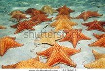 Estrellas de mar. Ophiuroidea. Asteroidea. / Imágenes en donde se muestran estrellas de mar.
