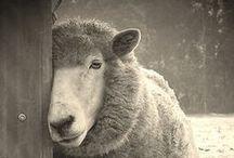 Sheepish!