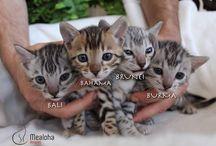 Kittens / Bengal kittens