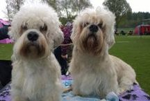 My Dandies / This board is about my two Dandie Dinmont Terriers Hertta and Sulo