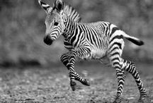 zebra!!