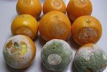 Podredumbres en postcosecha de naranjas / Colección de imágenes de las enfermedades que afectan a las naranjas durante la etapa de postcosecha. Te invitamos a que añadas fotos a esta colección.