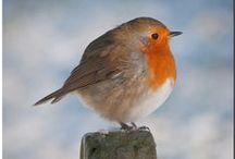 Birds and especially robins / Birds, birdwatching, preservation.