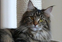 Maine Coon cats/others / by Darlene Gallagher