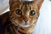 Tabatha  / My bengals cat