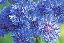 Cornflower ✾ / My Birthday Flower ✿